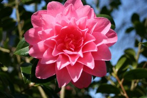 Camellia's at Trewithen Garden nr Truro - one of the best gardens in Cornwall.