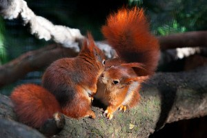 Trewithen Garden's red squirrel's one of the best gardens in Cornwall to visit