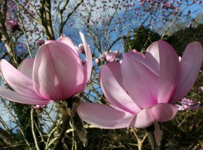 Magnolia at Trewithen Gardens - a fantastic day out in Cornwall for all the family.