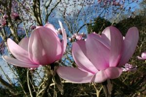 magnolia pics rev a