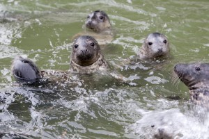 Seals at the Cornish Seal Sanctuary in Cornwall
