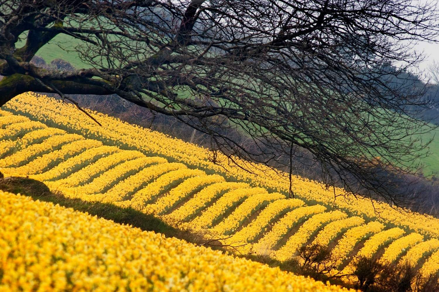 Did you Kernow - Daffodils are one of Cornwall's largest industries?