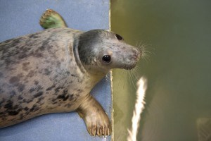 The Cornish Seal Sanctuary is a great day out in Cornwall