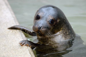 Things to do in Cornwall - Cornish Seal Sanctuary