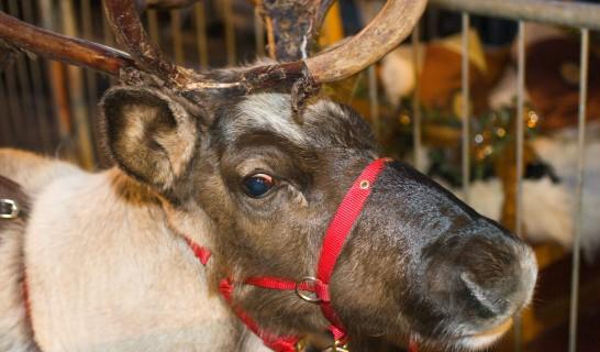 1109-0794_reindeer_parade