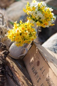 Made in Cornwall - Scented Narcissi