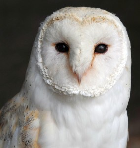 british barn owl at Screech Owl